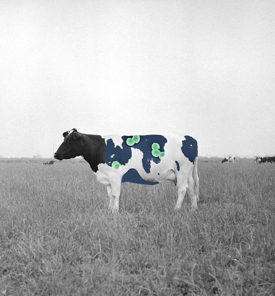 Collage van een koe en bacterieen