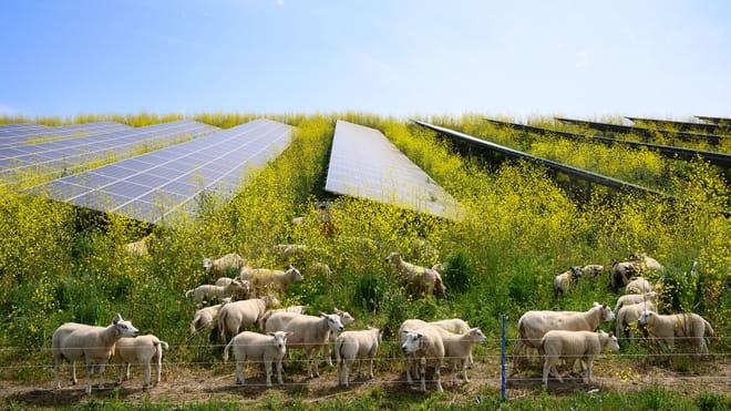Foto van een veld met koolzaad en zonnepanelen. Koolzaad staat vol in bloei met gele bloemen. Tussen de zonnepanelen grazen schapen.